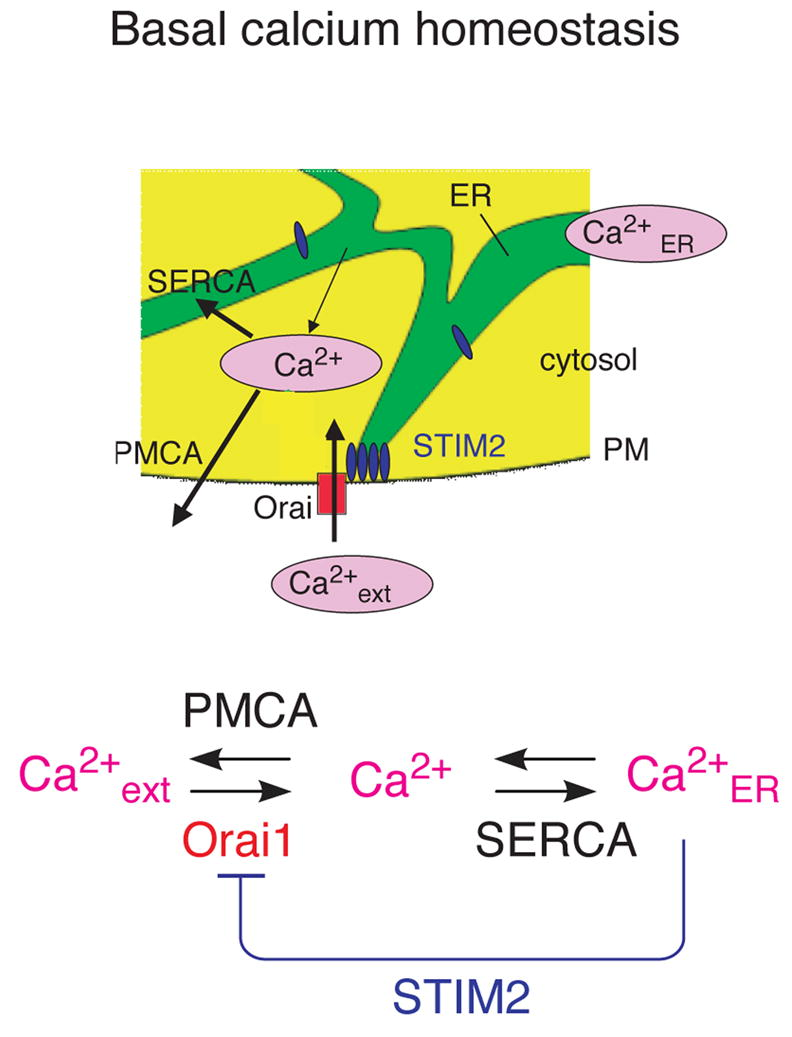 STIM2 is a feedback regulator that stabilizes basal cytosolic and endoplasmic reticulum Ca2+ levels.