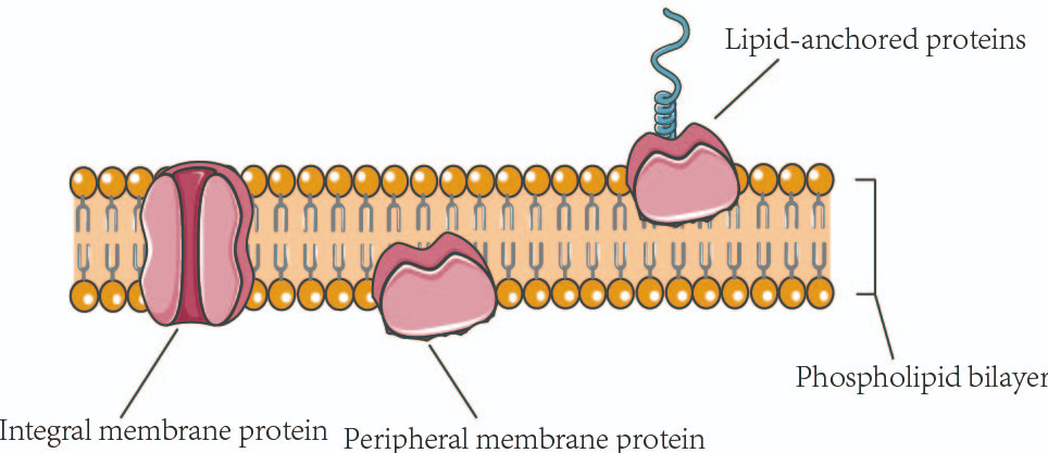 Membrane Proteins: Challenges In The Expression And Production Of Antibodies